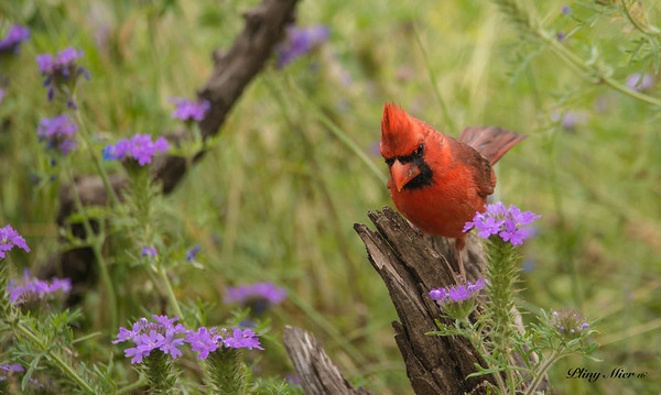 "Northern Cardinal ""male"""