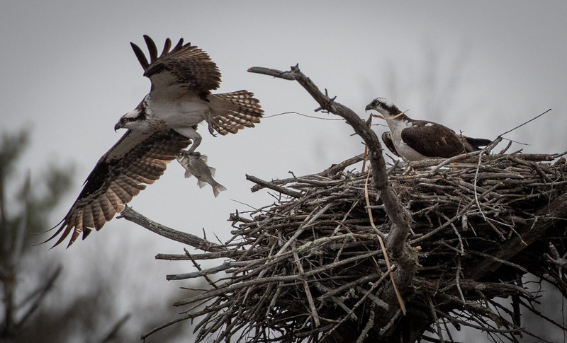 Osprey leaving