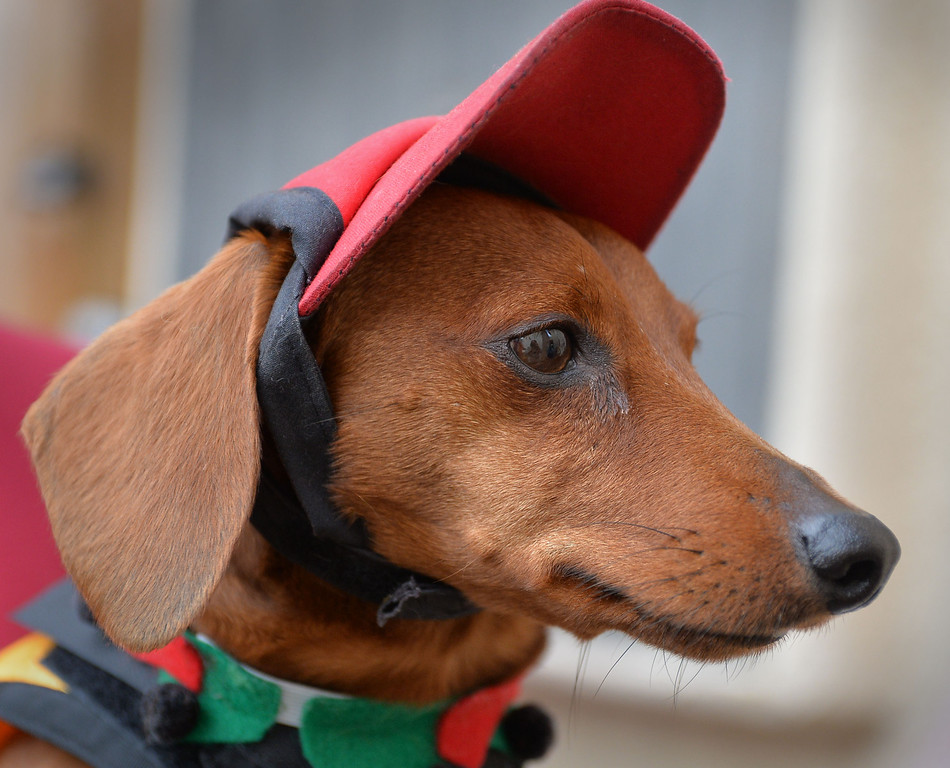 . Rescued Dachshund Bud Black, owned by David and Shawn Black will represent  the West in Weinerschnitzel  Weiner National Finals race Dec. 30th in San Diego. Bud in his racing hat.     Photo by: Robert Casillas / Daily Breeze
