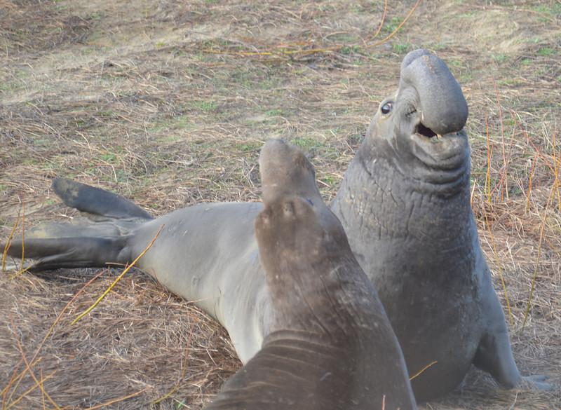 ano-nuevo-elephant-seals-2013 9.jpg