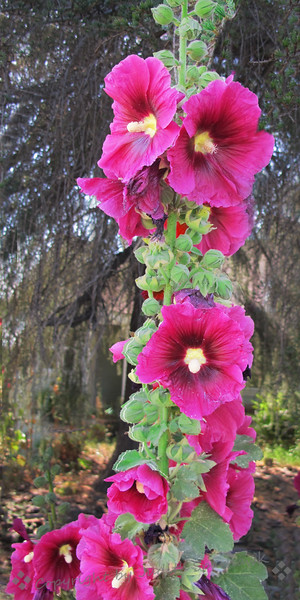 Hollyhocks tall.jpg