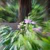 Azaleas and Redwood Tree with Zoom Focus