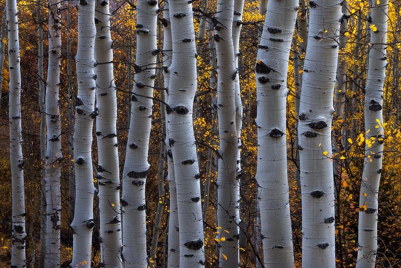 zzz (Unknown) - Aspen Tree