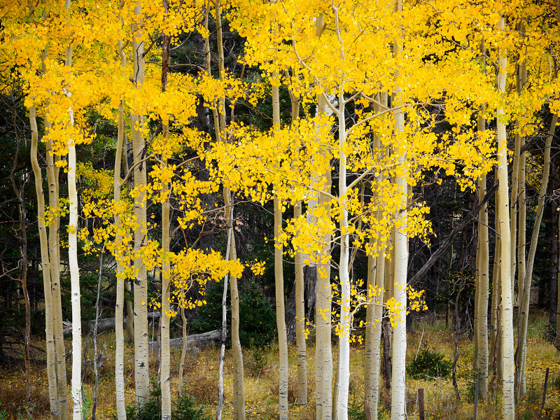 Aspen grove, Route 64, Kit Carson National Forest, New Mexico