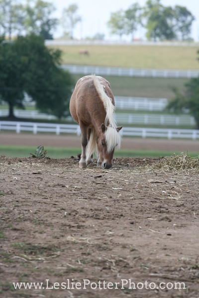 Miniature Horse in a Dry Lot