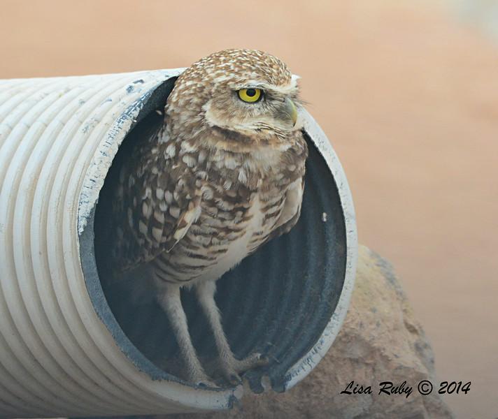 Burrowing Owl - 7/27/2014 - Salton Sea