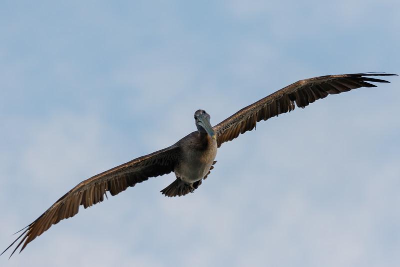Brown Pelican-0519