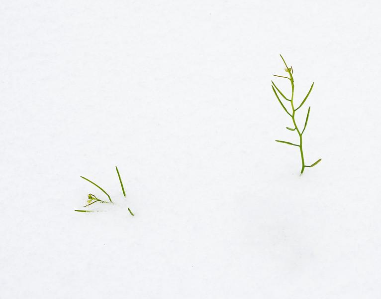 2021-02-15 Lufkin Grass in Snow_DSC0964.jpg