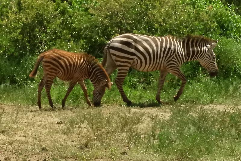 Zebras DSCN0423.jpg