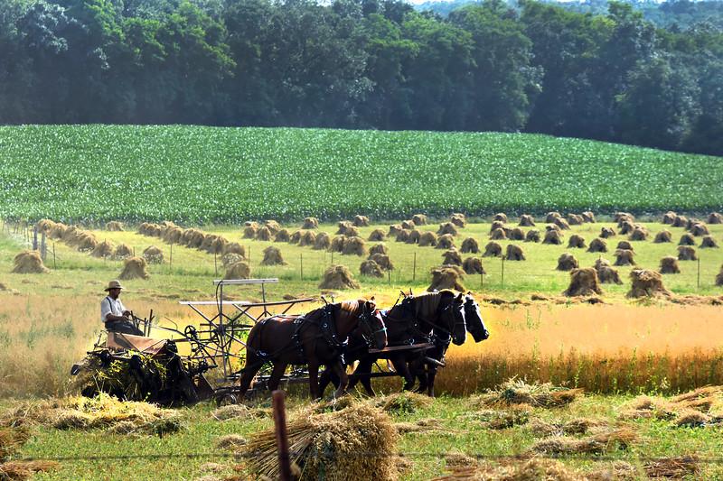 01 Harvest oats -Roper.jpg