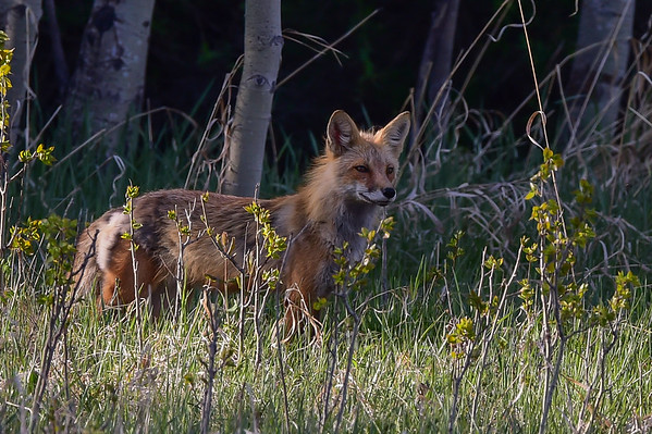5-17-16 Red Fox - Female Adult & Kits Playing