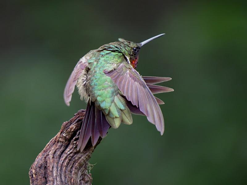 sx50_hummingbird_boas_287.jpg