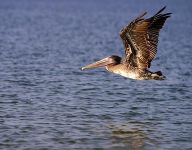 pelican_11x14