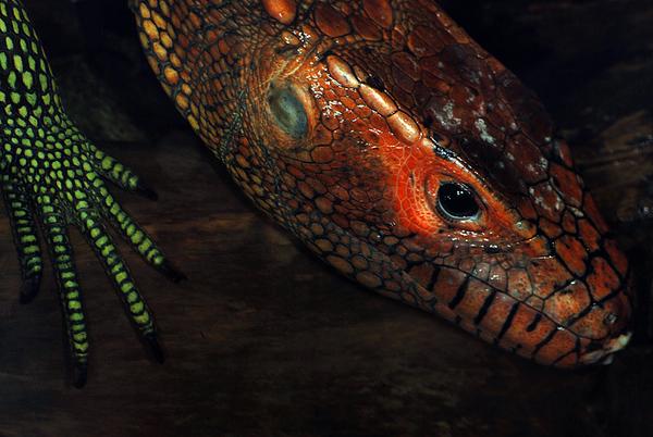 DSC_6116 Lizard ss70-3-2 ALA PS-.jpg