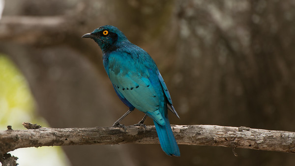Greater Blue-eared Starling, Lamprotornis chalybaeus. Kruger NP, South Africa.