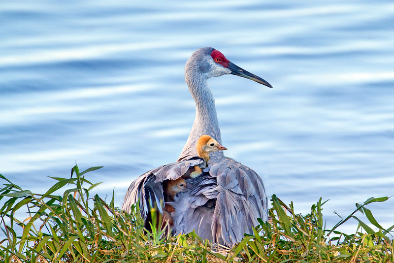 10_20_19 Mother Crane And Two Babies.jpg