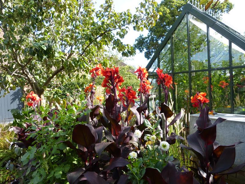 Cannas, greenhouse, Fairlight End P1230409.JPG