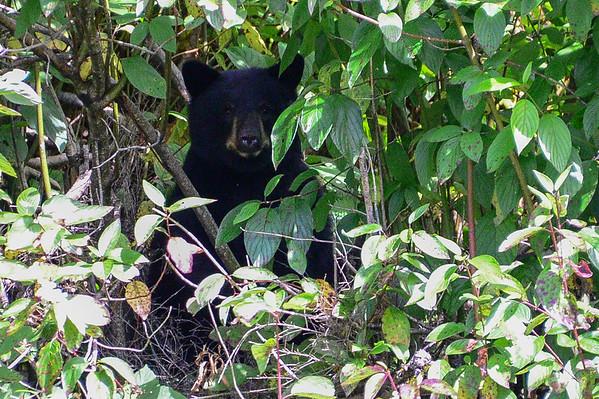 8-08-15 Black Bears