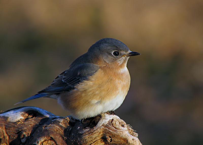 bluebird_1769.jpg