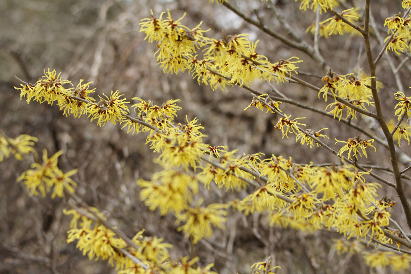 hybrid witch-hazel