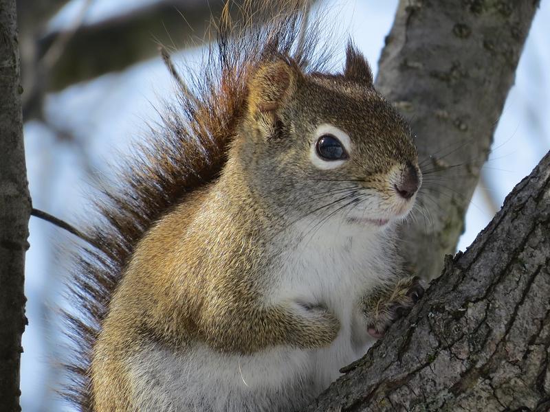 ecureuil roux_2327.jpg