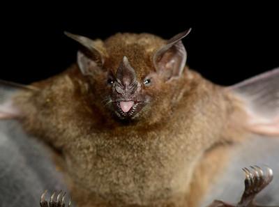 Bats of the Tropics