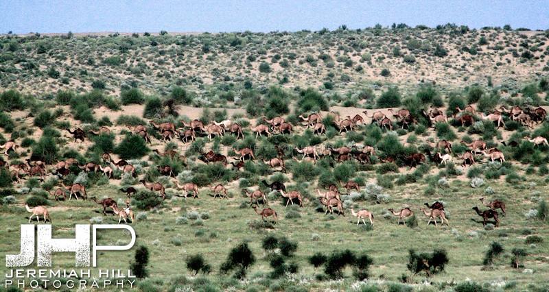 """""""Camel Herd"""",  Thar Desert, Rajashtan, India, 2007 Print IND3926-343V2"""