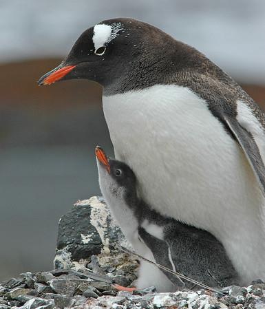 Antarctic-GentooPenguins