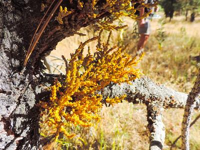 Pine Mistletoe (Arceuthobium campylopodum)