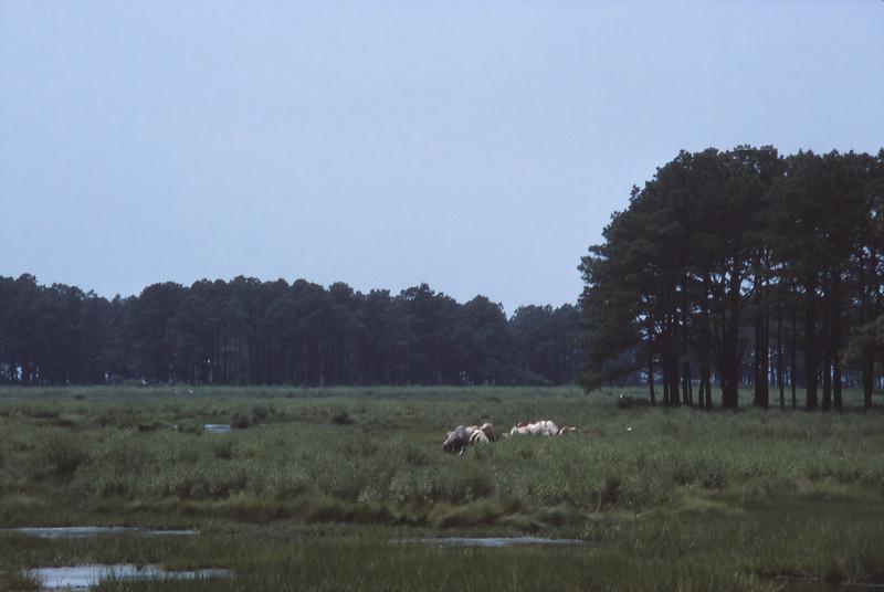 Chincoteague 1981-07 006.jpg