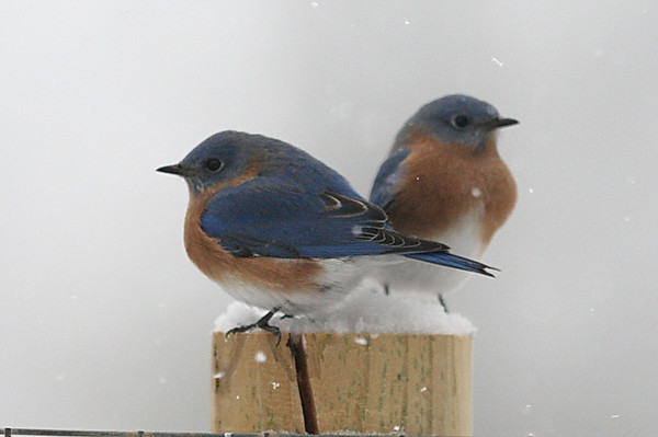 Bluebirds in the Winter