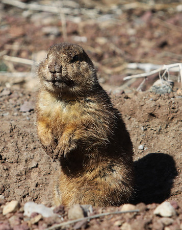 Williams Prairie Dogs