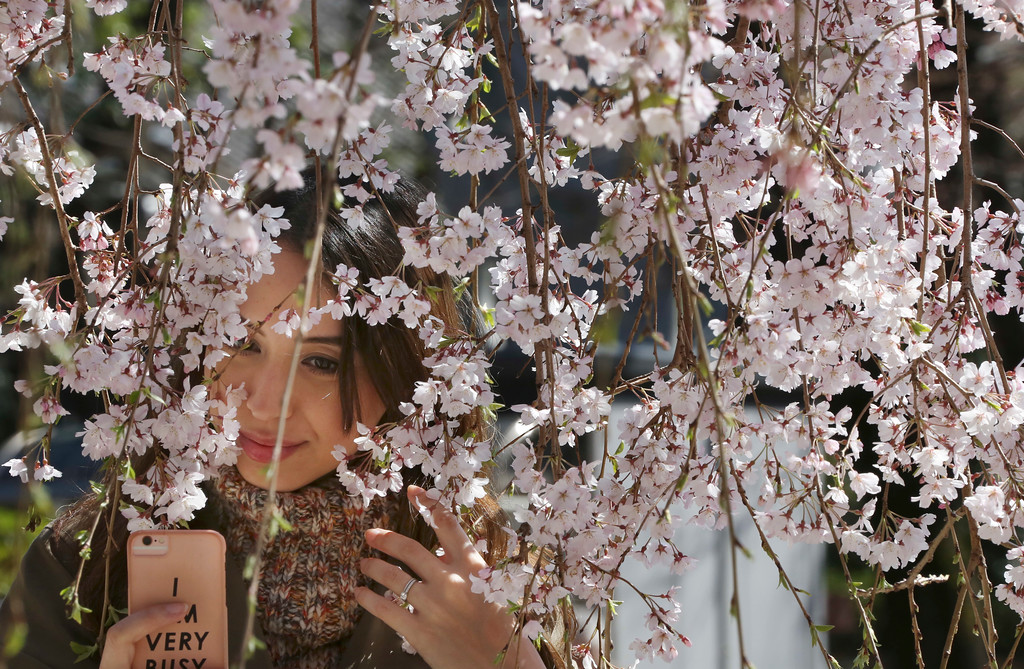 """. A woman takes a pictures of early blooming cherry blossom, called as \""""Shidarezakura\"""" at the Zojyoji Buddhist temple in Tokyo, Saturday, March 17, 2018. (AP Photo/Koji Sasahara)"""