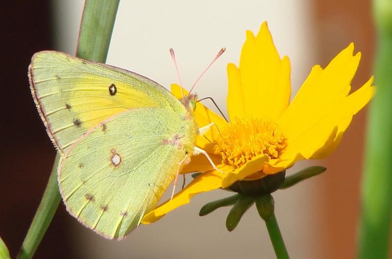 Orange Sulphur (Colias eurytheme).  TX: Tarrant Co. (Duhons' Fort Worth yard), 27 April 2007.
