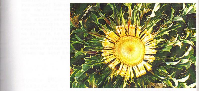 Op de groeiplaat - Carlina acanthifolia All., Nederlandse Rotsplanten Werkgroep Nieuwsbrief 30, February 1993, Kees Jan van Zwienen