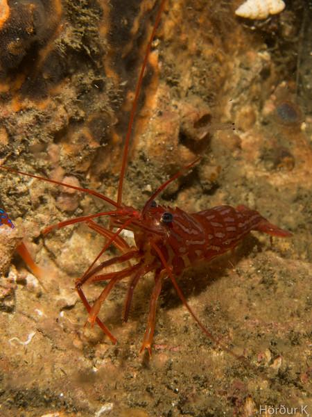 Red rock shrimp