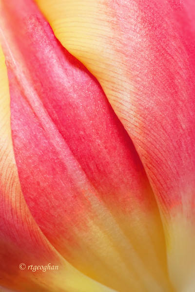 Feb 10_Tulip Closeup.jpg