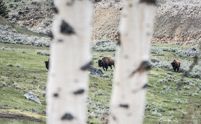 Bison Yellowstone National Park WY DSC05045.jpg
