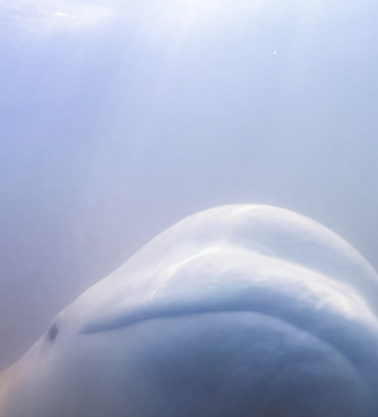 kayaking with Beluga Whales - 2-5.jpg