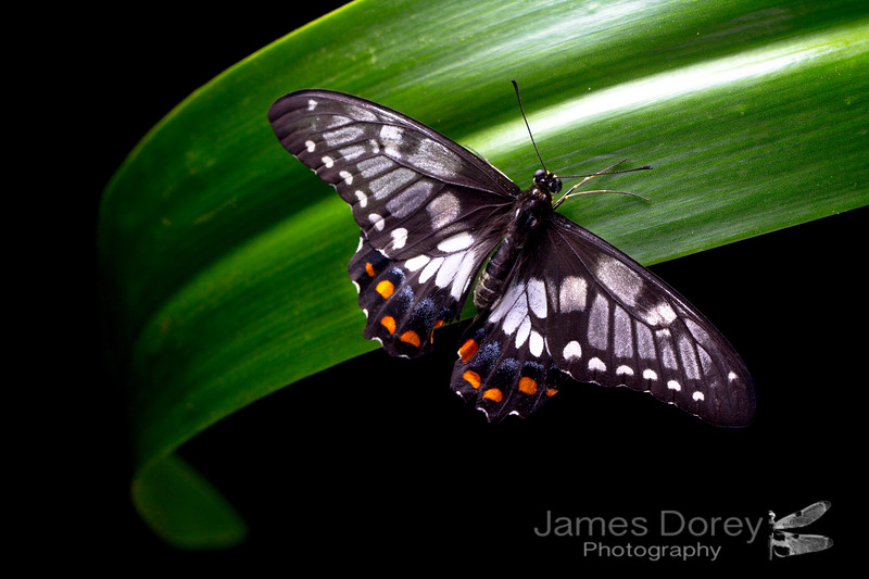 Dingy Swallowtail butterfly (Papilio anactus)