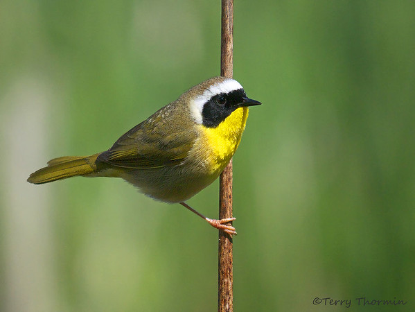 Common Yellowthroart
