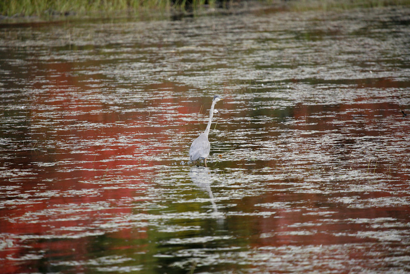 Crane near Lake Winnipesaukee, NH