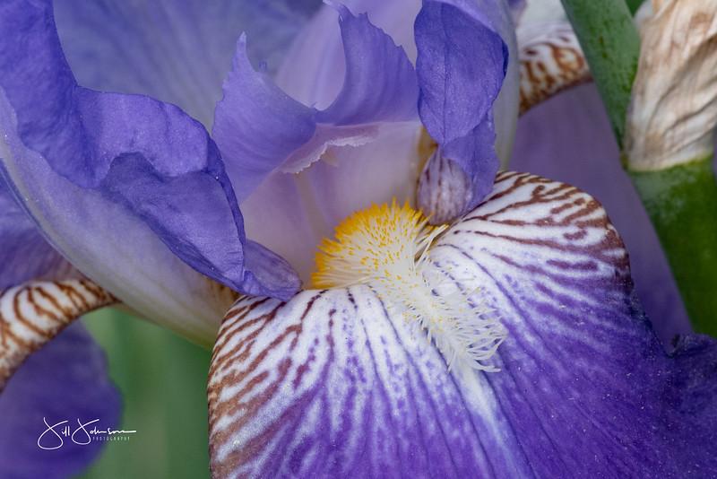 irises-120.jpg