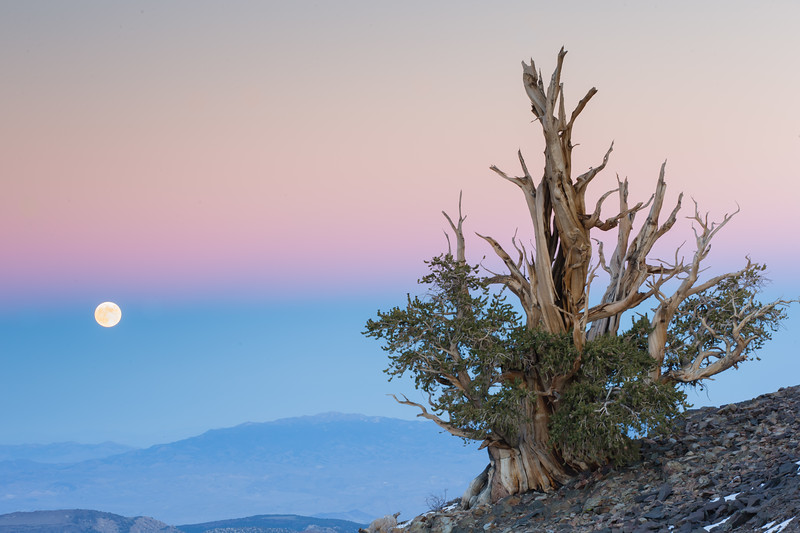 Moonrise over Bristlecone Pine tree - Ancient Bristlecone Pine forest, Lone Pine, CA