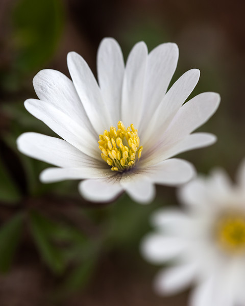 anemone-nemerosa.jpg