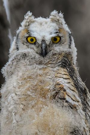4-17-18 Great Horned Owl Family