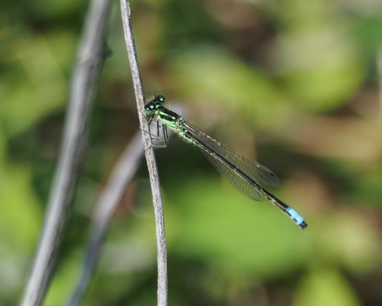 Fragile Forktail, male