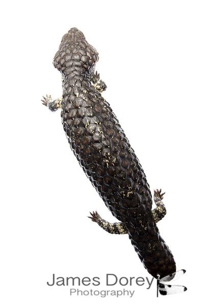 Sleepy lizard (Tiliqua rugosa)