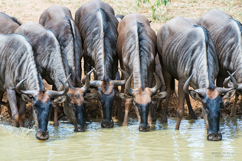 Blue Wildebeest, Mkuze GR, KZN, SA, Jan 2014-1.jpg