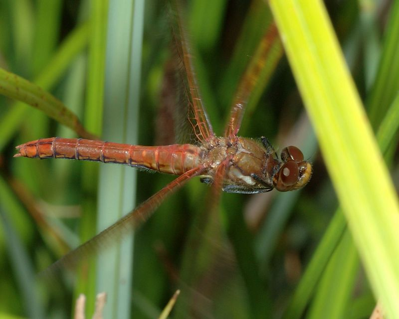 Dragonfly in flight. Tamron 90 2.8